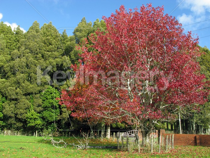 Colourful maple tree Photo #12454