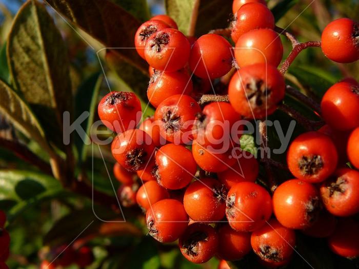 Cotoneaster berries Photo #1156