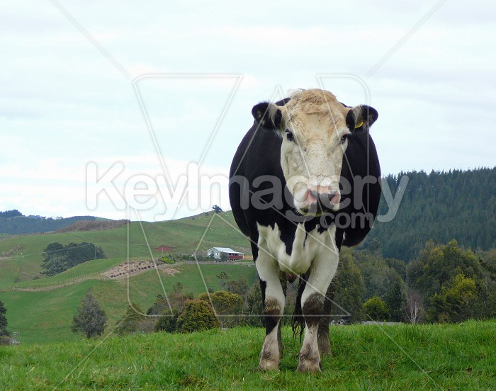Cow on a hill Photo #4125