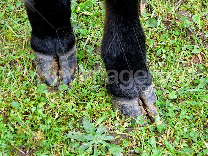 Cows hooves Photo #1632
