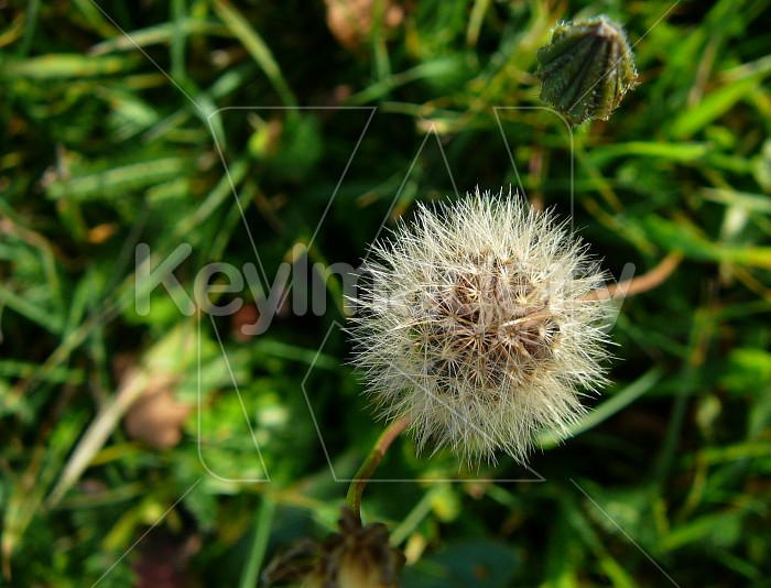 Dandelion seed head Photo #2258