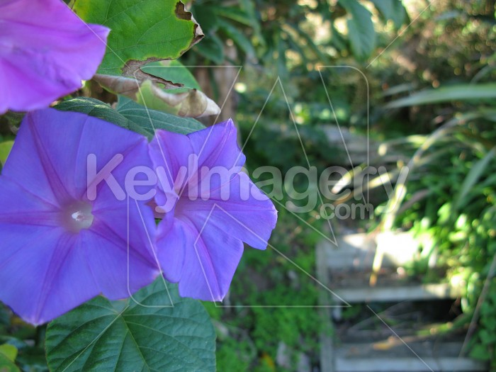 Delicate purple convolvulus flowers 3 Photo #12278