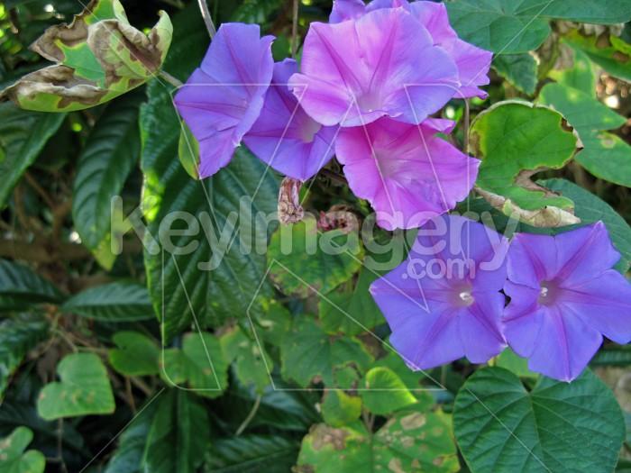 Delicate purple convolvulus  flowers 4 Photo #12277