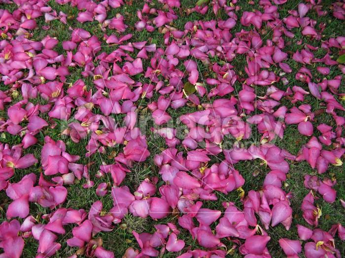 Fallen petals Photo #12565