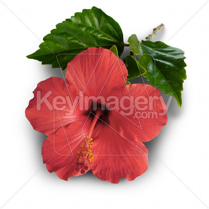 Full bloom hibiscus flower Photo #1664