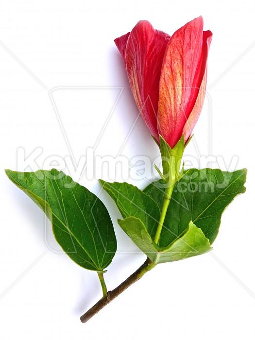 Hibiscus bud Photo #1665