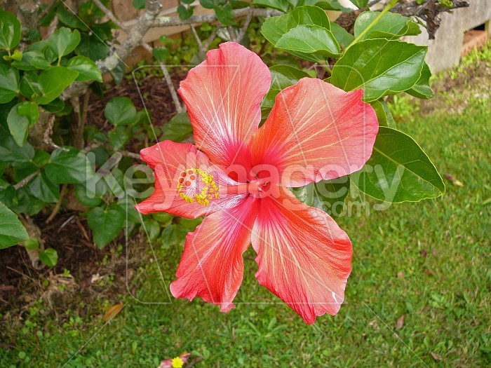 hibiscus flower Photo #912