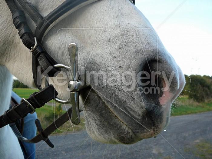 horse nose Photo #1868