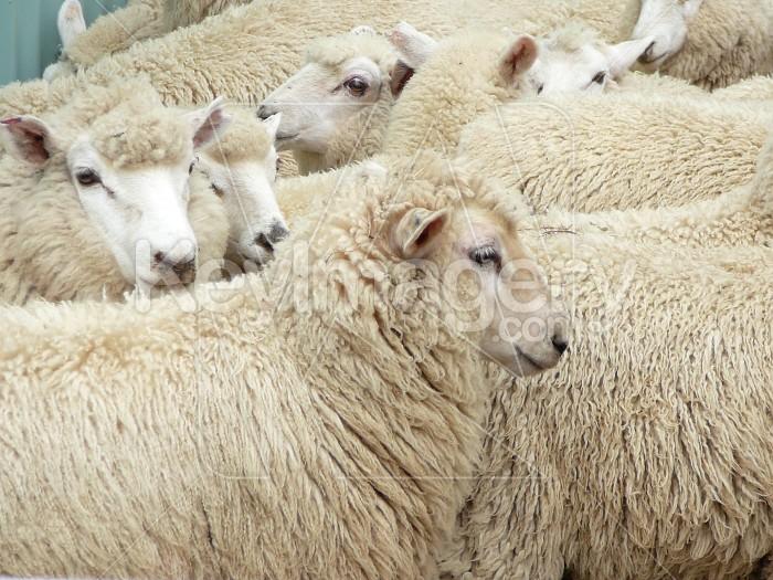 Lambs ready for  shearing Photo #6228