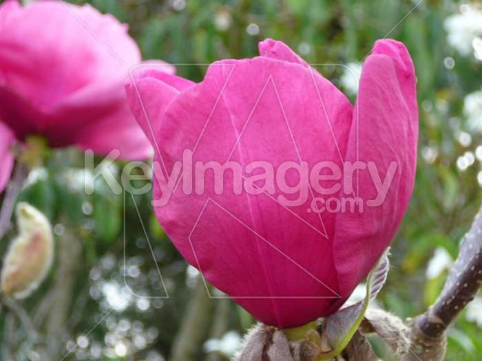 Magnolia 1 Photo #4234