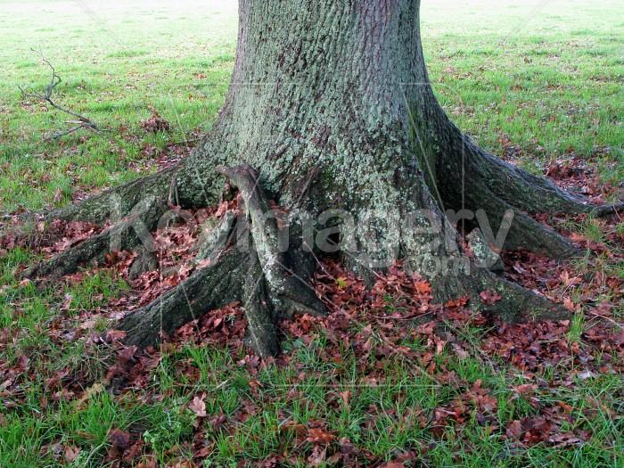 Old Oak Tree Trunk Photo #12456