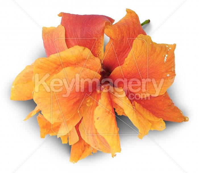 Orange hibiscus flower Photo #1666