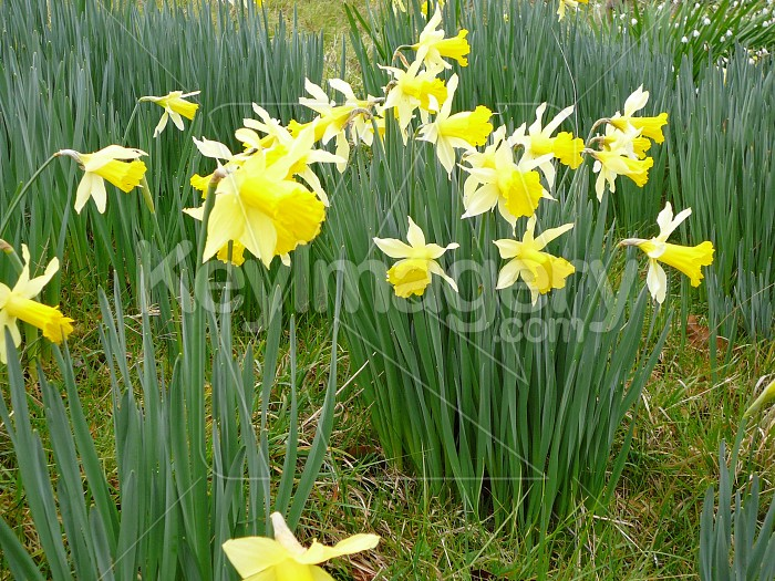 paddock of daffodils Photo #4231