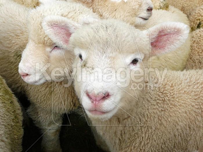 Perrindale lamb Photo #4409