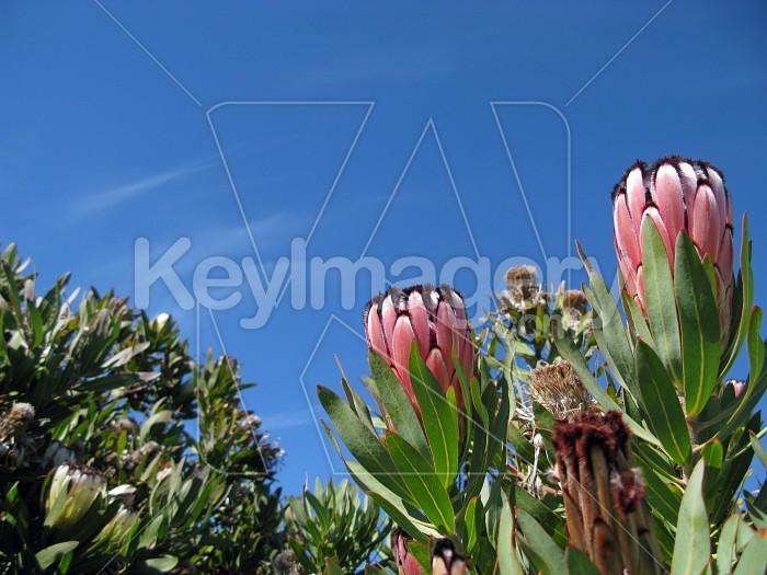 Proteas in the sun 1 Photo #12312