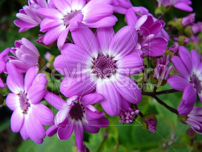 Purple cineraria flower Photo #4461