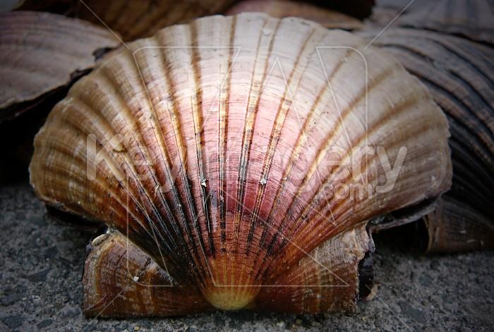 Scallop shell Photo #4072