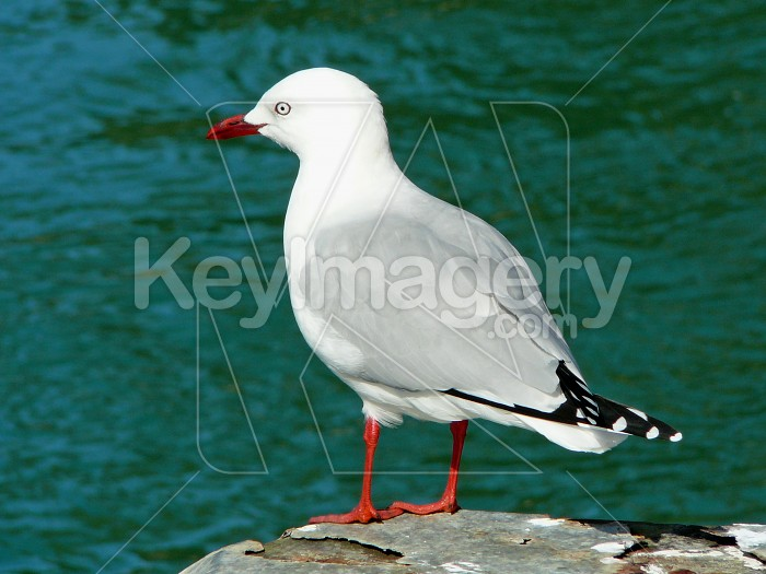 Seagull on a rock Photo #1429