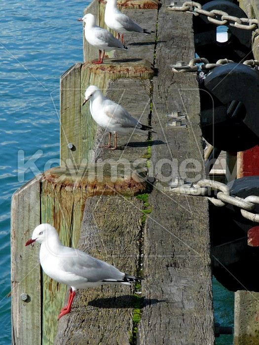 seagulls in a row Photo #1644