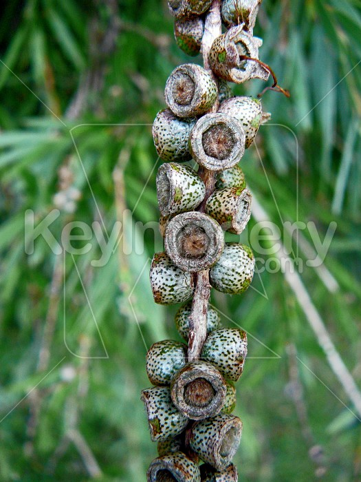 Seedpods  on a stick Photo #1293