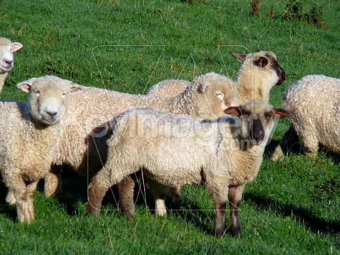 Sheep in paddock Photo #1580