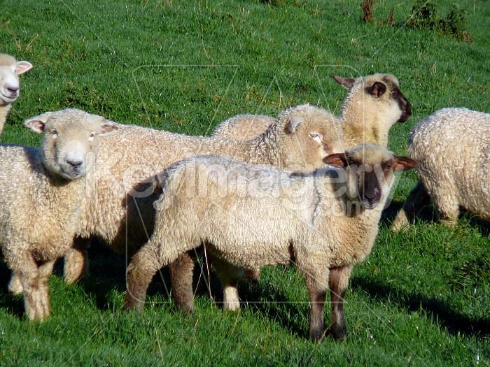 Sheep in paddock Photo #1580