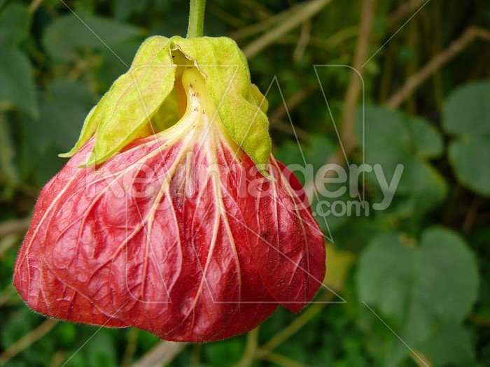 Solo red bell flower Photo #4127