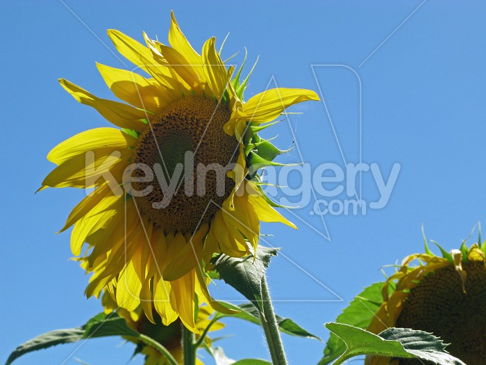 Solo sunflower Photo #6391