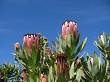 Proteas in the sun 2