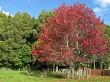 Colourful maple tree