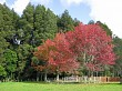 Two colourful maple trees