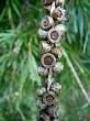Seedpods  on a stick