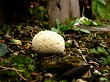 Small white fungi