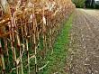 Half harvested maize