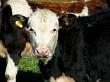 calf 58