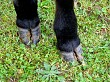 Cows hooves
