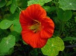 Nasturtium in full bloom