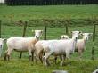 Closer view of sheep