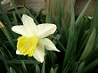 Two toned daffodil