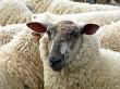 Bblack faced sheep