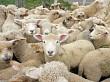 Lambs in a pen