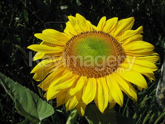 Sunflower in full bloom Photo #6398