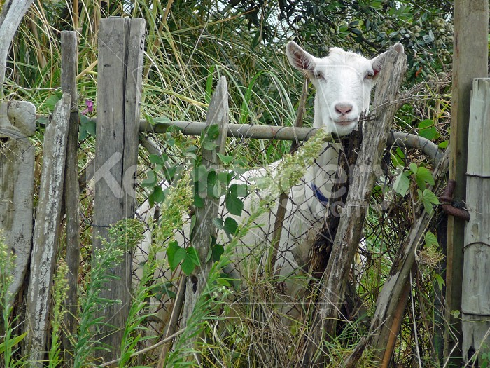the goat Photo #920