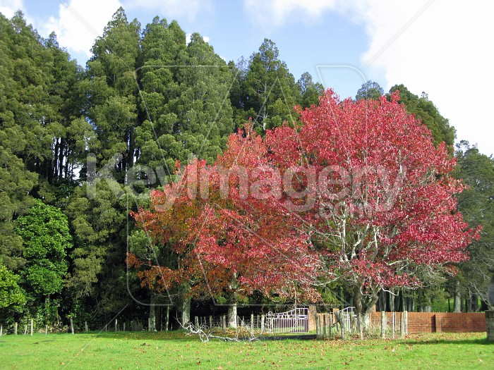 Two colourful maple trees Photo #12601