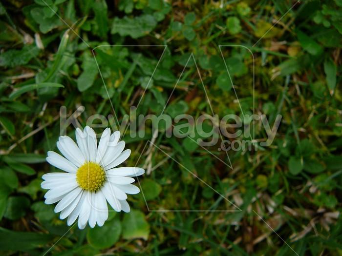 white daisy and grass Photo #1886