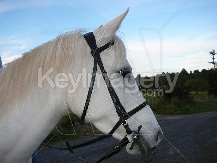 white horse head Photo #1864