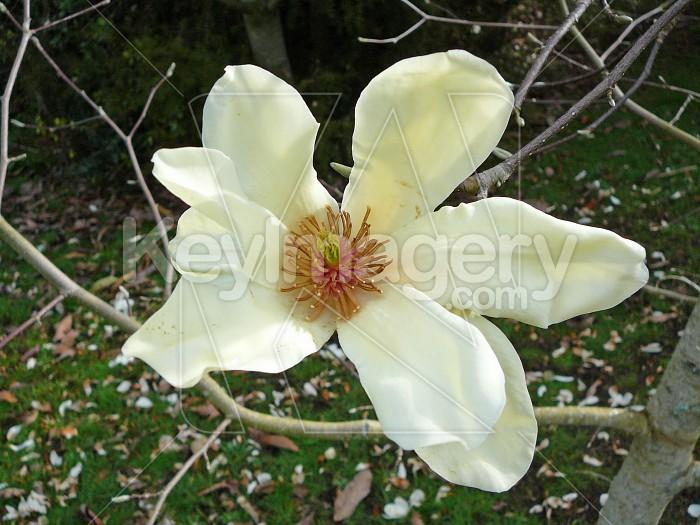 White Magnolia flower Photo #4659