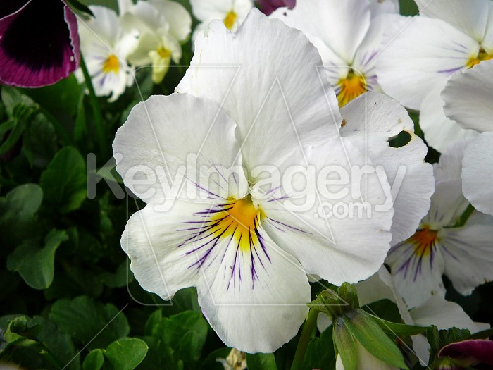 White pansy Photo #4451