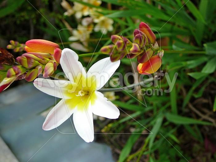 White spraxia flower Photo #4524