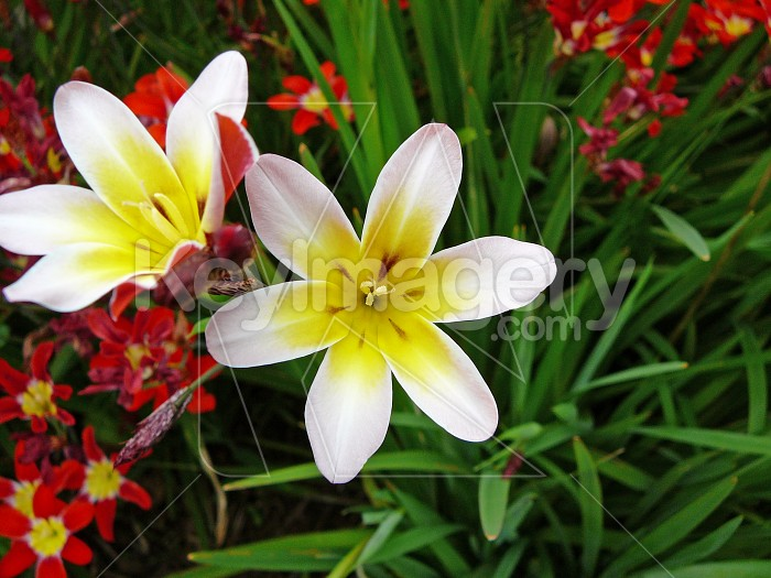 White Spraxia flowers Photo #4460